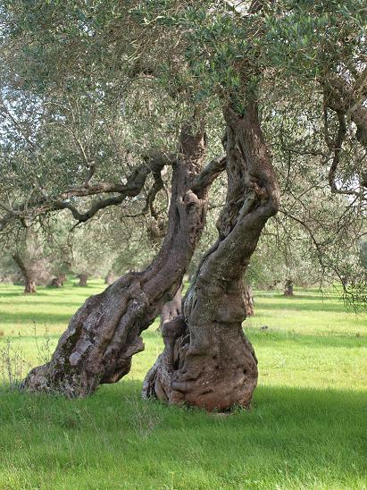 alberi ulivi