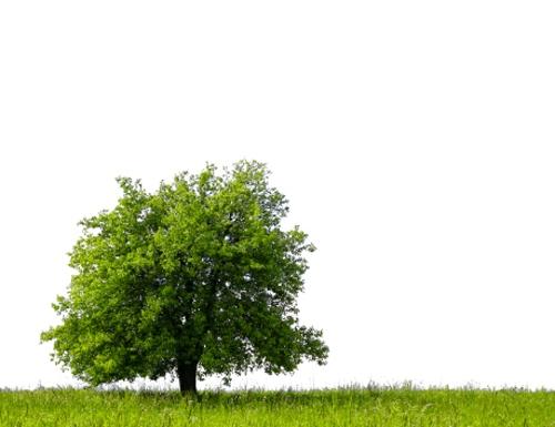 Pear tree on green field